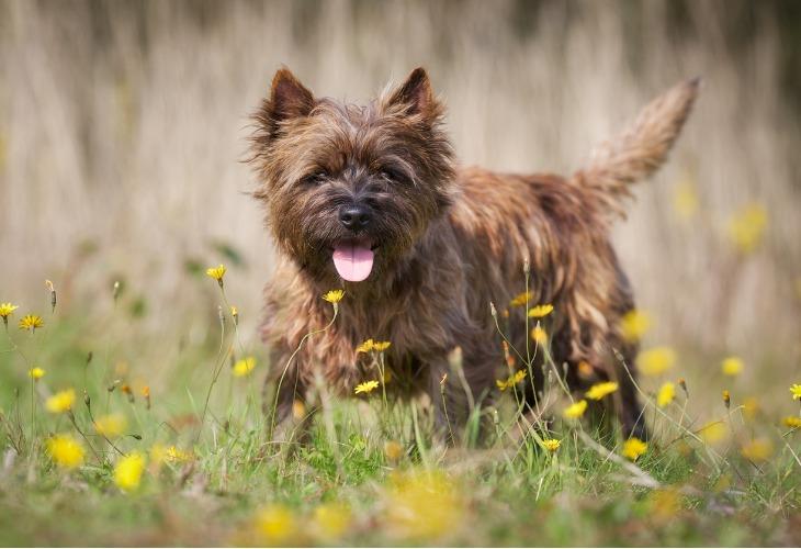 Cairn Terrier dans un champ de fleurs