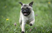 Carlin heureux qui court dans l'herbe