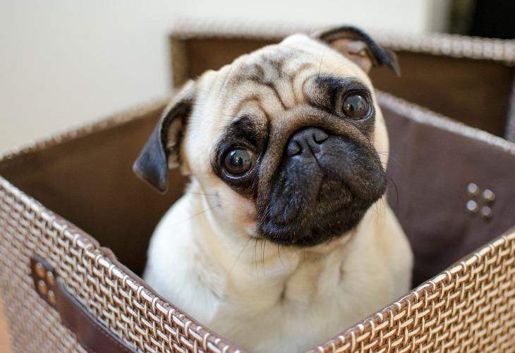 Portrait d'un chien Carlin beige.