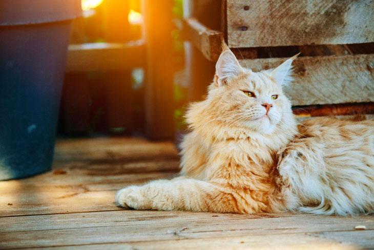 Maine Coon (race de chat) roux