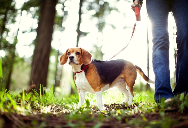 Chien Beagle en promenade