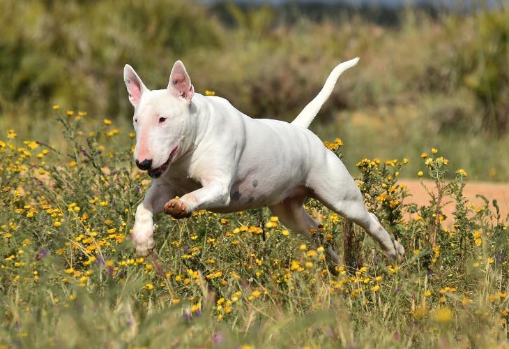 Chien Bull Terrier qui saute