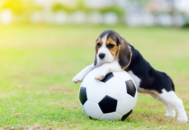 Adorable chiot Beagle sur un ballon de football.