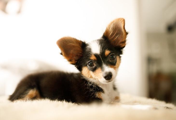 Chiot Chihuahua allongé