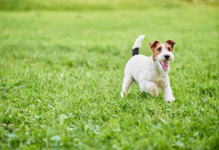 Fox Terrier heureux