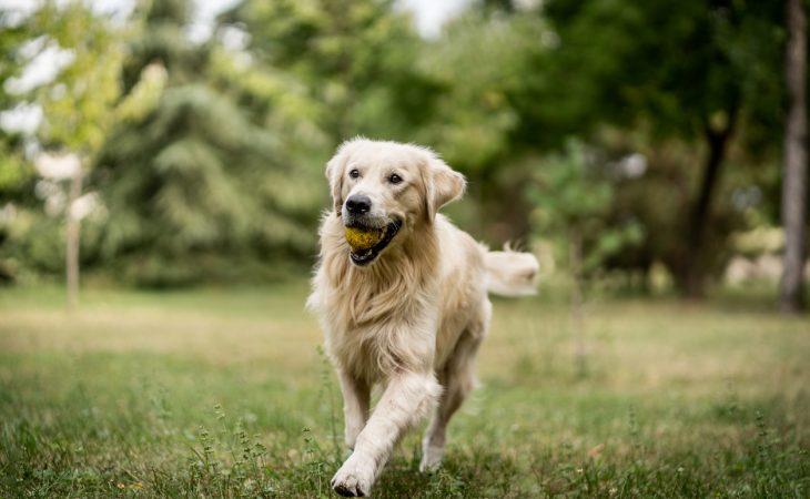Golden Retriever qui court avec une balle dans la gueule