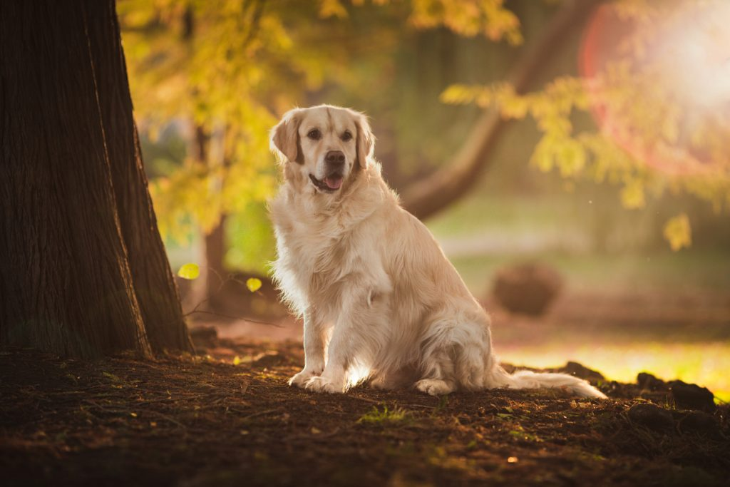 Golden retriever - race de chien