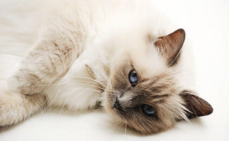 Le Sacré de Birmanie est une race de chat de taille moyenne avec des poils mi-longs.