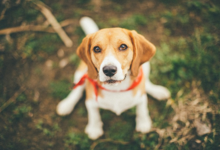 Chien de race Beagle lors d'une balade en forêt.