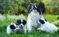 Races de petits chiens