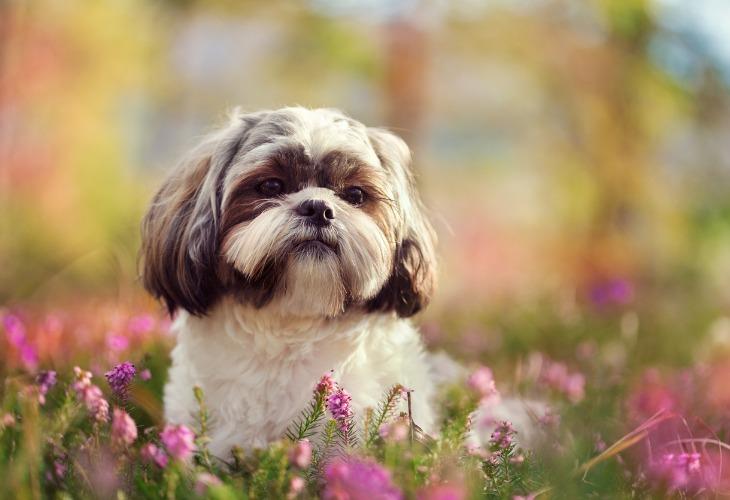 Shih Tzu dans un champ de fleurs