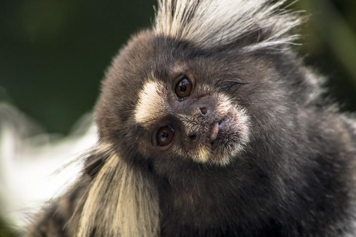 Un singe qui ressemble à un Carlin