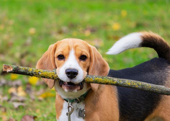 Beagle avec un bâton dans la gueule