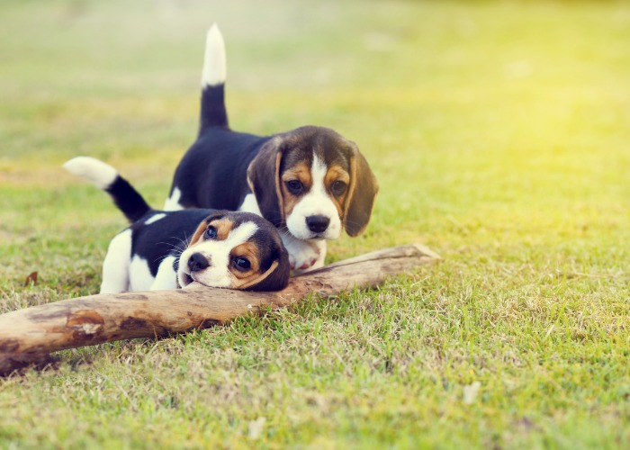 Deux beagles chiots