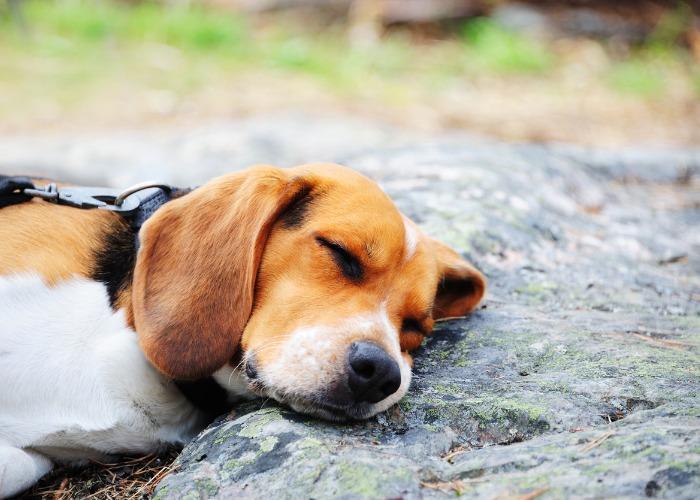 Beagle qui dort sur un caillou