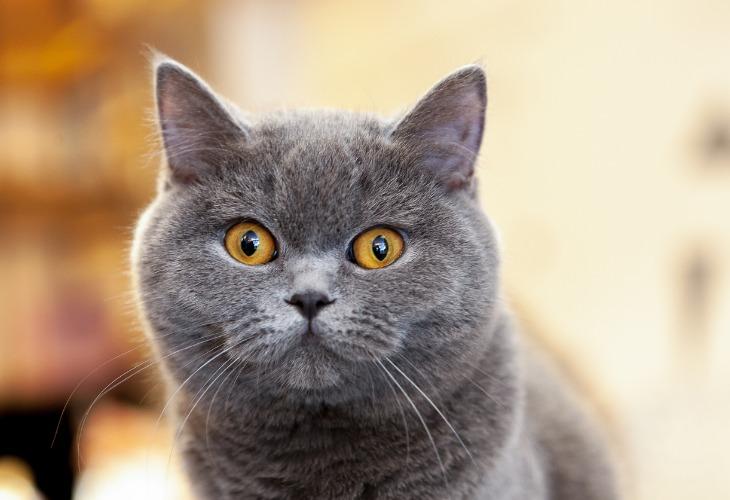 British Shorthair de couleur bleu aux yeux cuivrés.