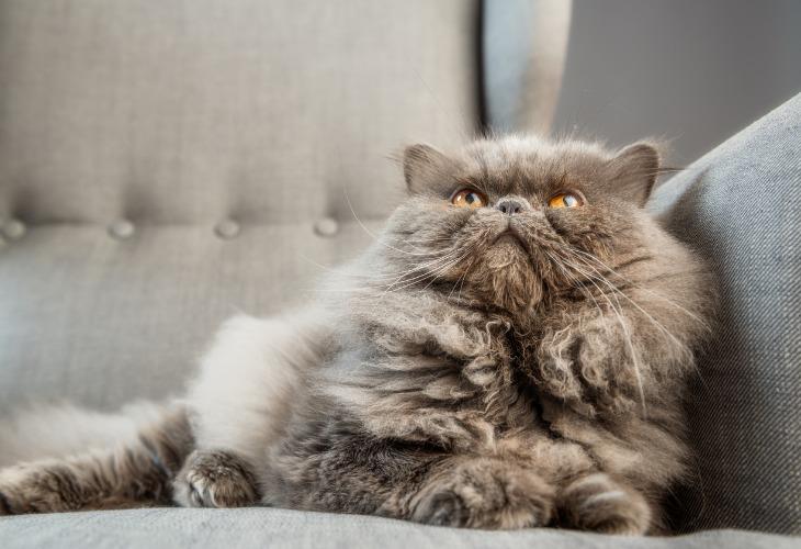 Beau chat Persan gris allongé sur un canapé.