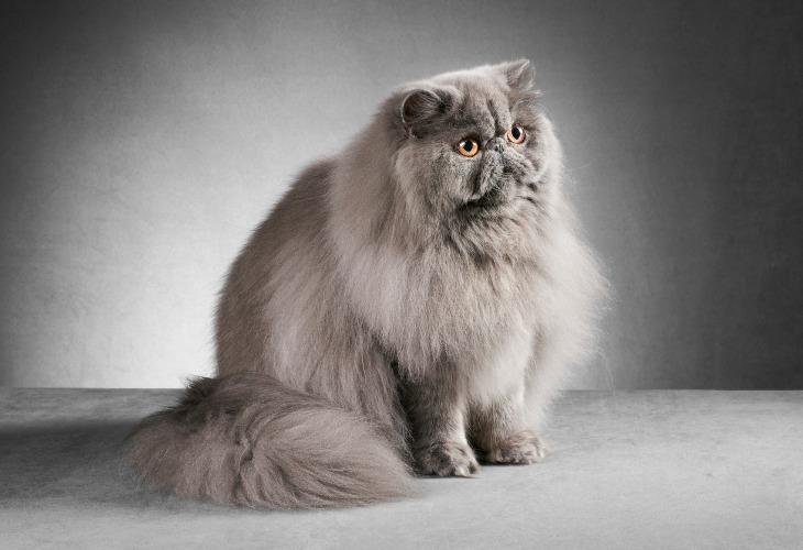 Chat Persan gris