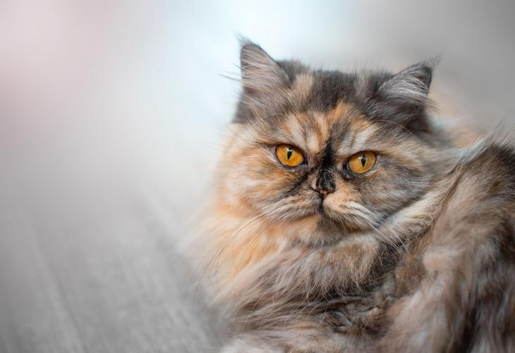 Le Persan est un chat à poils longs. Il demande donc un entretien régulier et rigoureux.