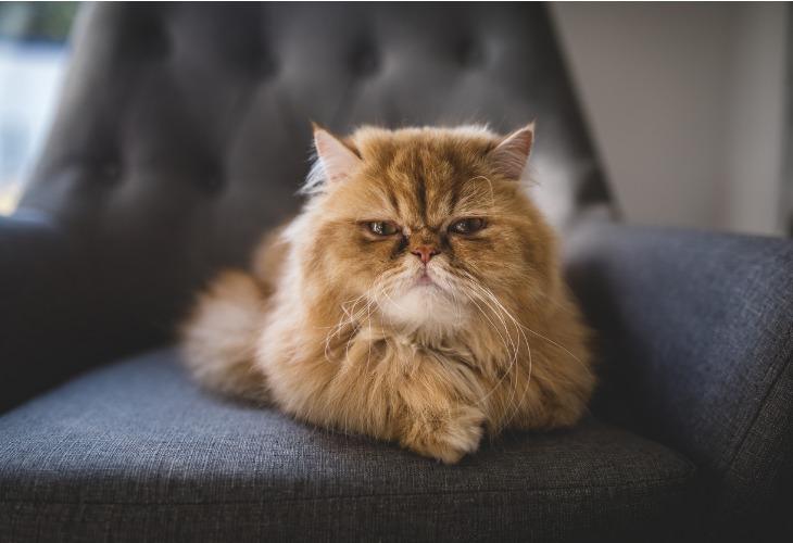 Chat Persan roux sur un fauteuil