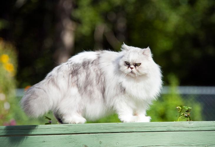 Le Persan est un chat de taille moyenne. Il possède un poil long et fin ainsi qu'un épais sous-poil.