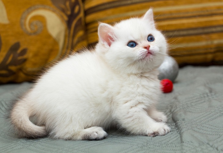 Chaton British Shorthair black golden shaded pointed aux yeux bleus.