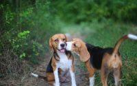 Deux Beagles qui se font un bisou