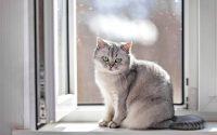 Chat British Shorthair gris assis devant une fenêtre.