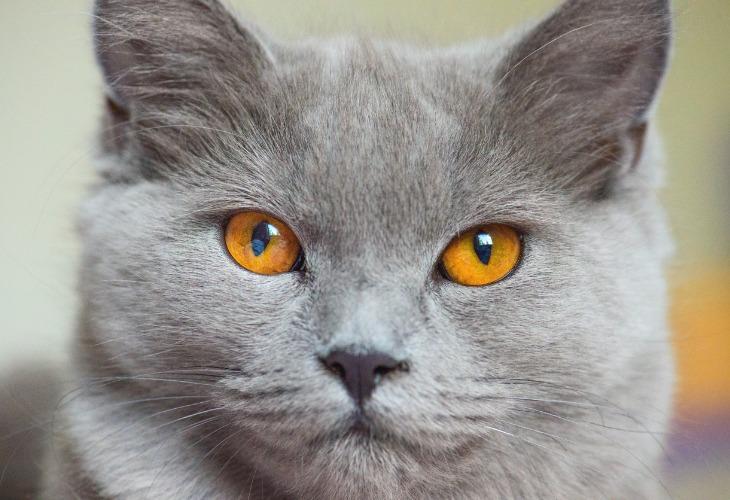 Les yeux du Chartreux sont de couleur cuivre.