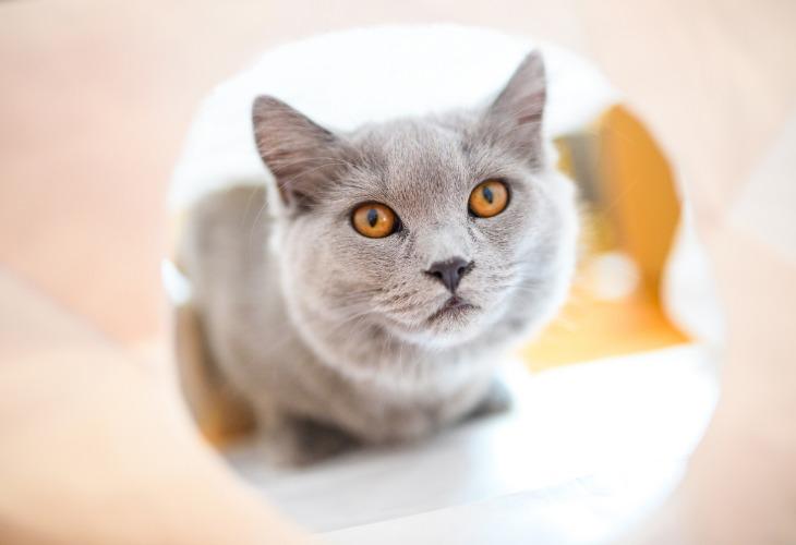 Chat de race Chartreux avec de beaux yeux cuivrés.