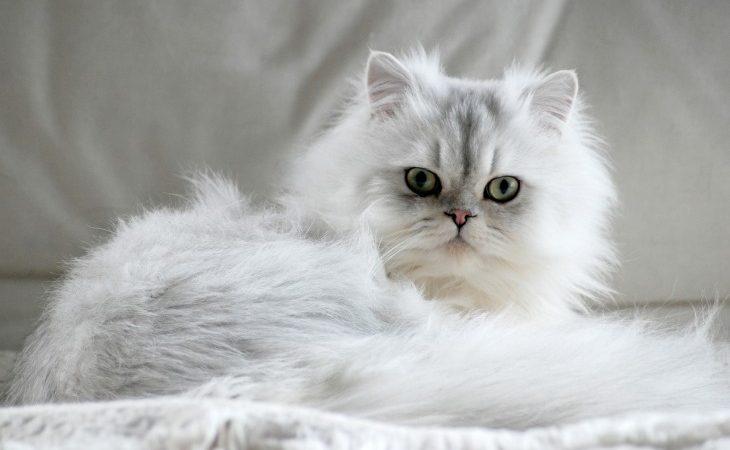 Le Persan est une race de chat à poils longs.