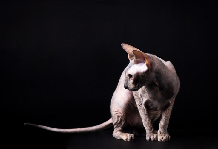 Le Donskoy est un chats sans poils originaire de Russie.