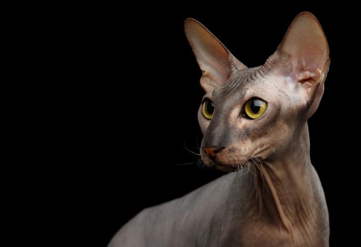 Le Peterbald est une race de chats sans poils de Saint-Pétersbourg.