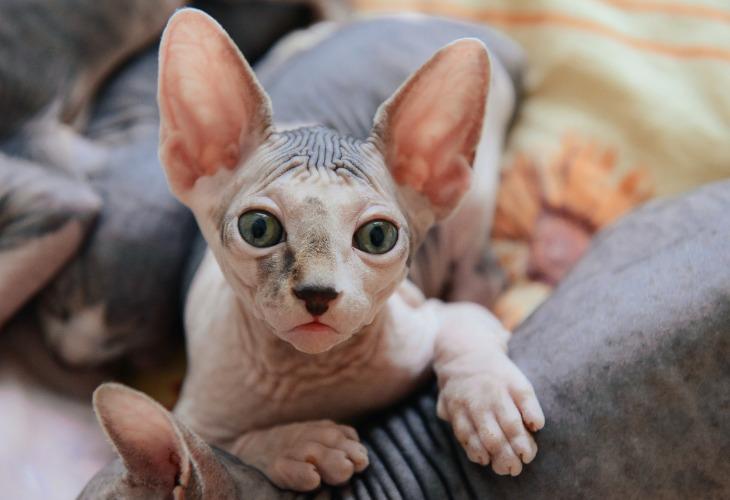 Le Sphynx est la race de chats sans poils la plus connue.