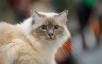 Sacré de Birmanie race de chat