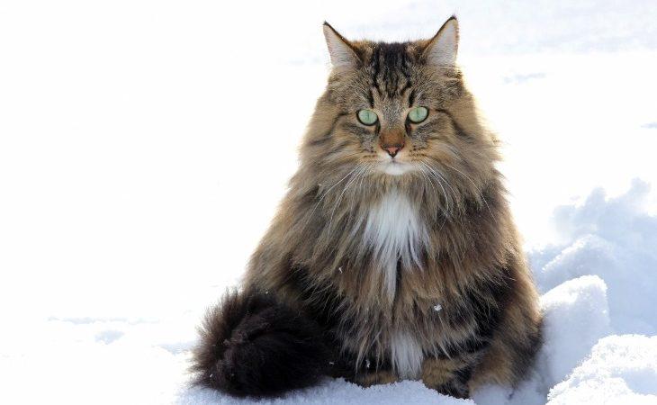 Chat Norvégien dans la neige.