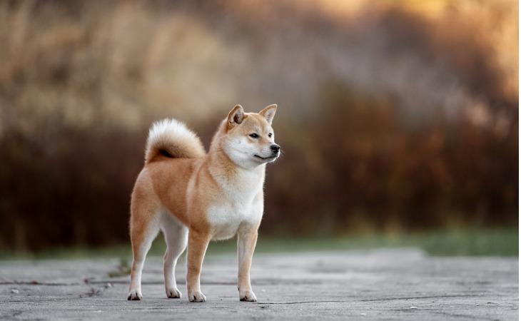 Chien japonais Shiba Inu
