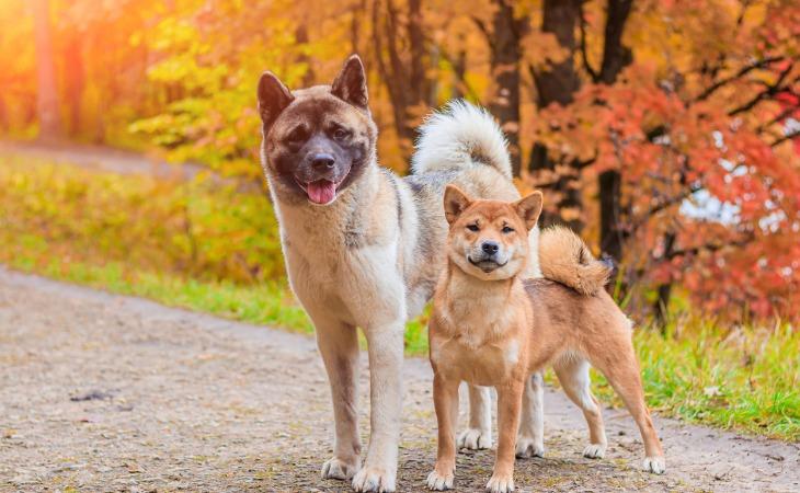 Races de chiens japonais, le Shiba et l'Akita Inu