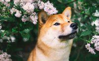 Portrait d'un Shiba Inu dans les fleurs roses.