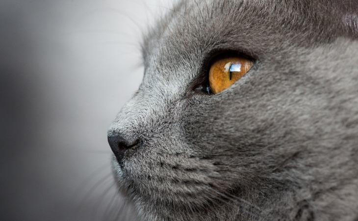 Chat Chartreux aux yeux dorés