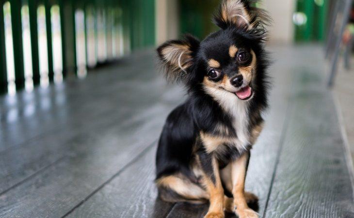 Chien de race Chihuahua couleur noir et feu.