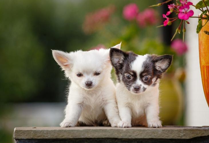 Chiots Chihuahua blancs et noir.