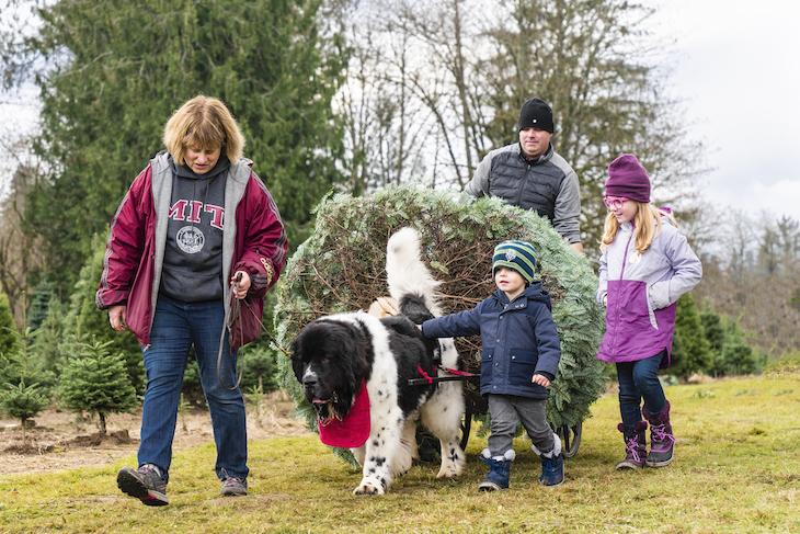 Terre-Neuve qui aide à porter le sapin de Noël en famille