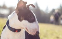 Chien de race Bull Terrier de couleur noir et blanc.