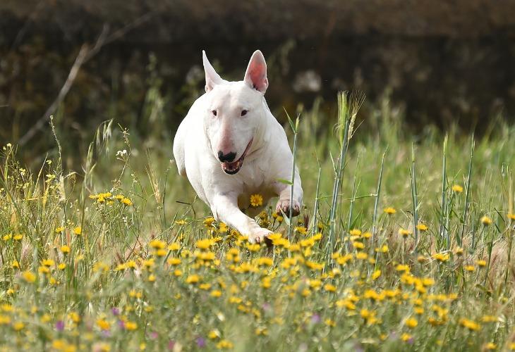 Bull Terrier blanc courant dans les herbes.