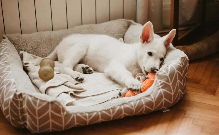 Chiot blanc allongé dans son panier mâchant un jouet.