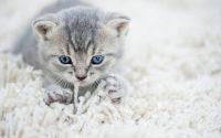 chat qui masse avec ses pattes avant