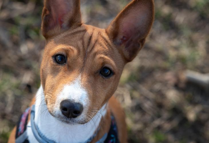 Portrait d'un chien de race Basenji blanc et marron.