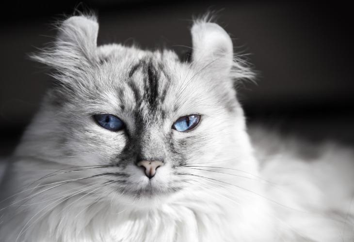 Chat de race American Curl blanc aux yeux bleus.