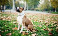 American Staffordshire Terrier assis dans l'herbe.